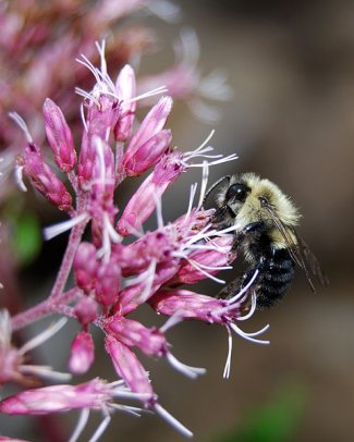apidae-bumble-bee-on-flower