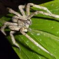 amazonian wandering spider