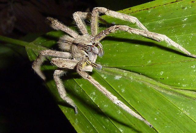 amazonian wandering spider
