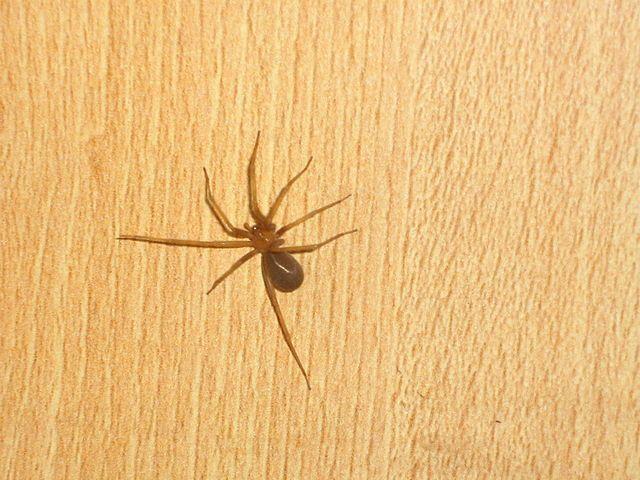 chilean recluse