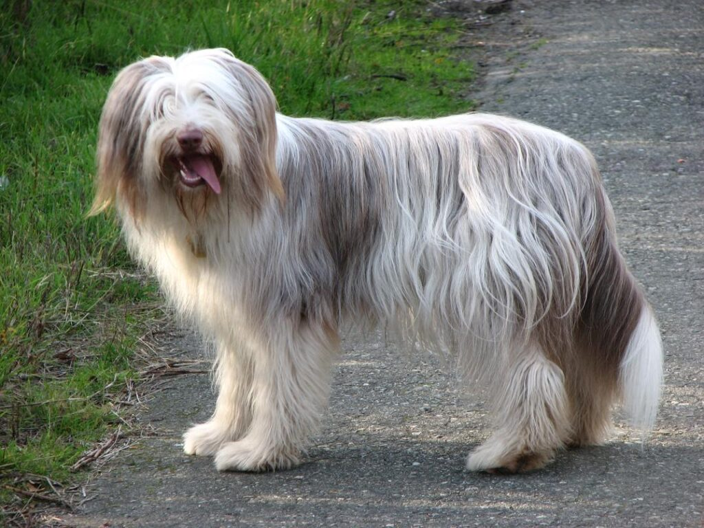Protective Dog Breeds: Bearded Collie