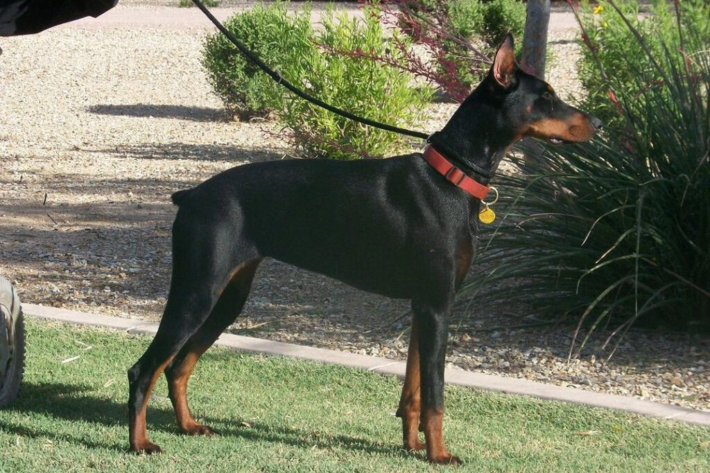 Protective Dog Breeds: Doberman Pinscher