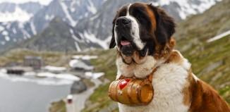 Protective Dog Breeds: St Bernard