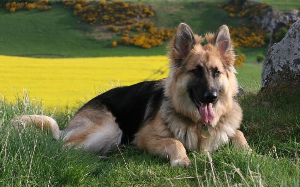 Protective Dog Breeds: German Shepherd Dog