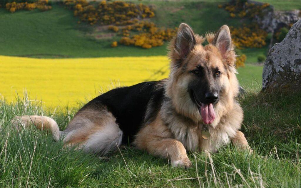 Protective Dog Breeds: German Shepherd Dog
