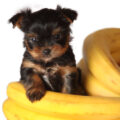 """can dogs eat bananas dog with bananas can dogs eat banana can dog eat banana can dogs eat banana chips"""