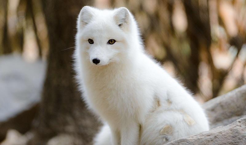 arctic fox as a pet