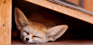fennec fox as a pet