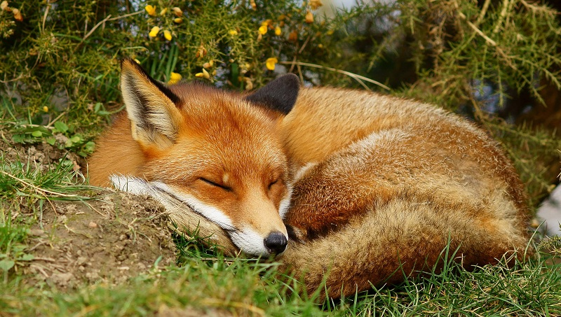 red fox as a pet